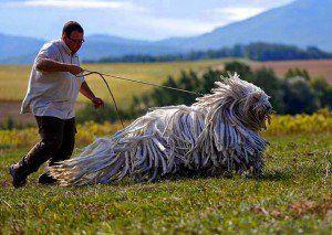 cachorros-muito-grandes-13