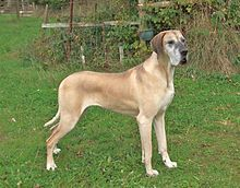 Great Dane - Fawn Great Dane (female) min.100 lb (45 kg) for females-Femaleminimum 28 in -average life span is 6 to 8 years;--Weight: 100 to 200 pounds Life Span: 7 to 10 years He loves to play and is gentle with children.doesn't eat as much food as you'd think.His tail can knock over a lot of things, particularly in a small space. And given the opportunity, he's an impressive counter surfer. Luckily, he isn't rambunctious or highly energetic.