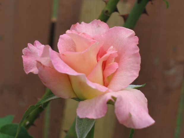 Choosing the right roses for (you and) your garden. Has a small list of common roses.