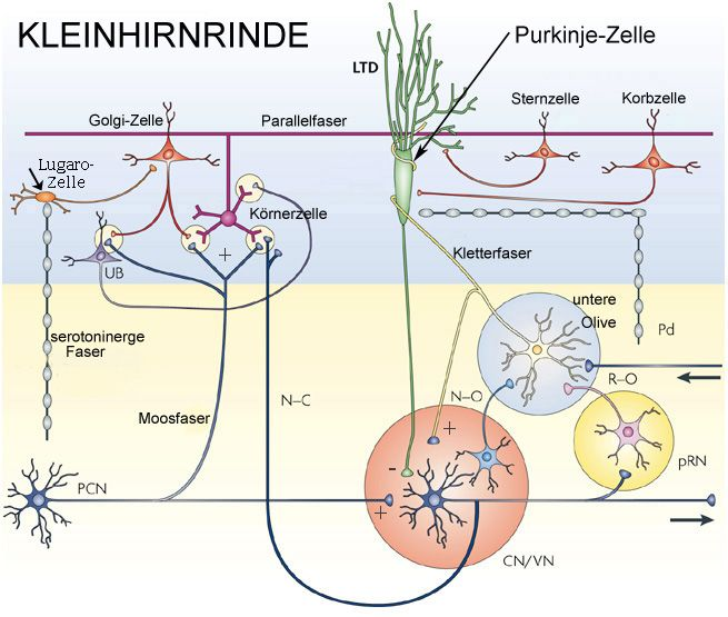 Physiologie: Funktionen des Kleinhirns
