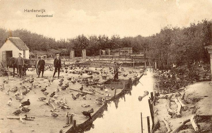 Harderwijk, eendenkooien (foto FB Herinner je je Harderwijk)