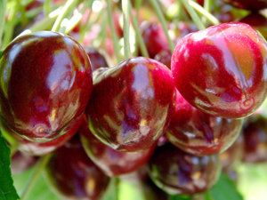 Compact Stella Cherry Tree: For The Home, Tarts Cherries, Cherry Trees, Sweet Cherries, Cherries Trees, Do You, Stella Cherries, Bears Trees, Orchards Company