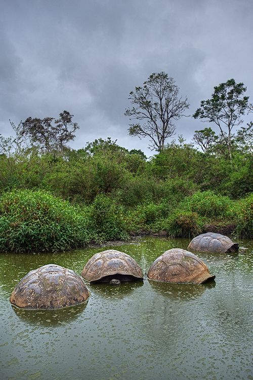 earthandanimals:  Giant Tortoises in pond Santa Cruz Island, Galapagos Islands, Ecuador Photo by Sean Crane