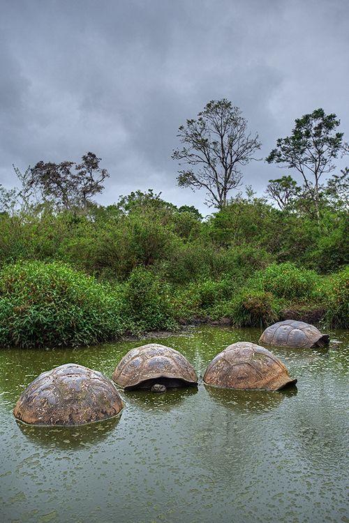 Giant Tortoises, Gallapagos.