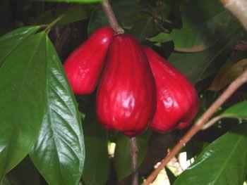 Syzygium malaccense  jambo-vermelho, jambo-da-índia, jambeiro-de-malaca, jambo-chá, ameixa-rosa.  Apesar de exótica, é muito cultivada nas regiões de clima quente e úmido, especialmente no norte do Brasil e, também, ao longo do trópicos, incluindo muitos do Caribe, como Costa Rica, Jamaica, Porto Rico, Suriname, República Dominicana, Honduras , Guiana e Trinidad e Tobago, países onde é plantada até 600 metros acima do nível do mar.