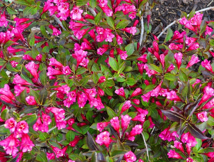 """wine and roses"" weigela caprifoliaceae"