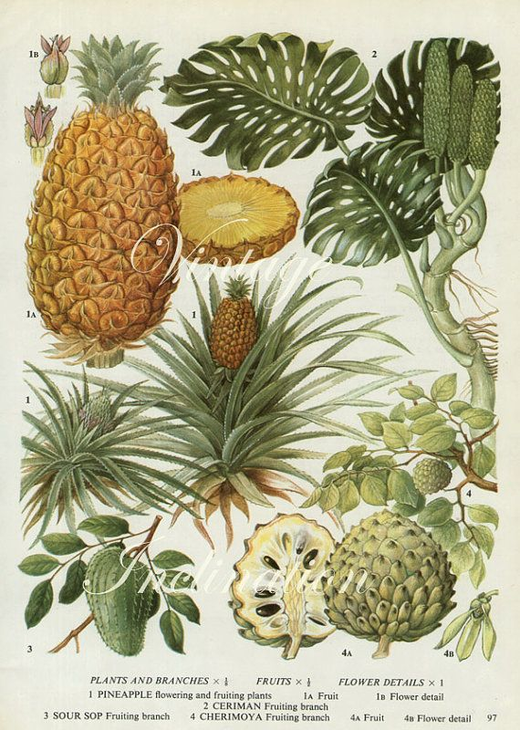 Vintage Botanical Print Pineapples fruit pine apple kitchen 1960s original decor wall art print bookplate