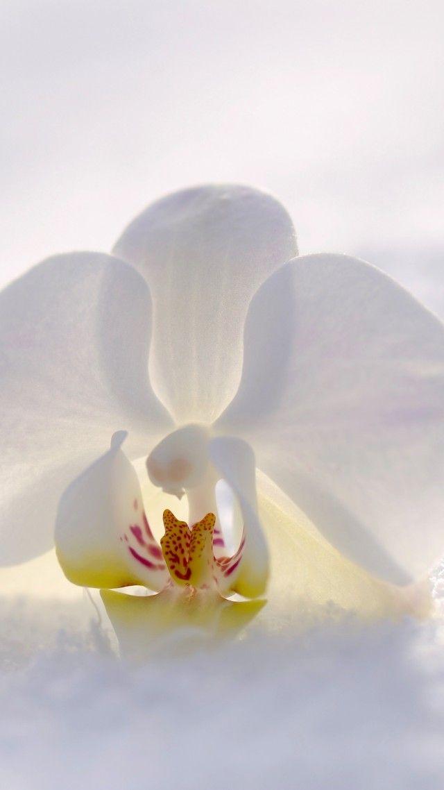 Orchid Flower Snow Winter White 4k Vertical Orchids Flowers Wallpaper