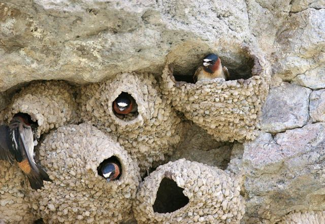 cliff swallow nests | BIRDS Eggs, Nests + ANIMALS, INSECTS | Pinterest ...