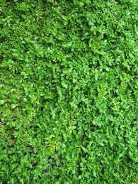 Alternatives to grass that are drought-resistant and sturdy as grass * Rupture wort * Creeping wire vine