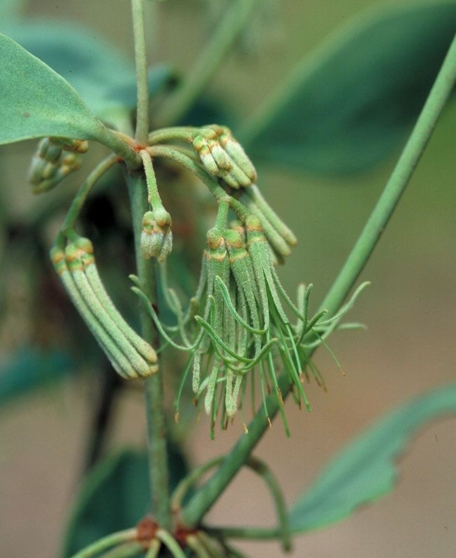 Green mistletoe flowers