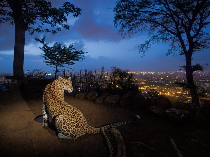 On a hill overlooking Mumbai a man-made water hole attracts one of an estimated 35 leopards living in and around Sanjay Gandhi National Park.