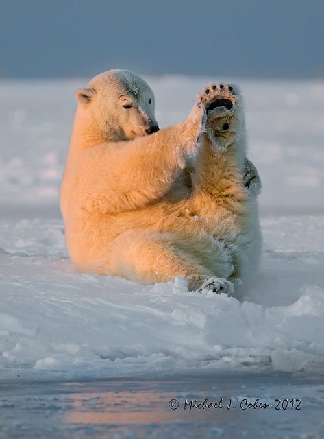 Polar Bear - photo by Michael Cohen (MyKeyC), via Flickr;  ...Is this: 'Must do my stretches.'  OR  'I really need to shave.'  ???...