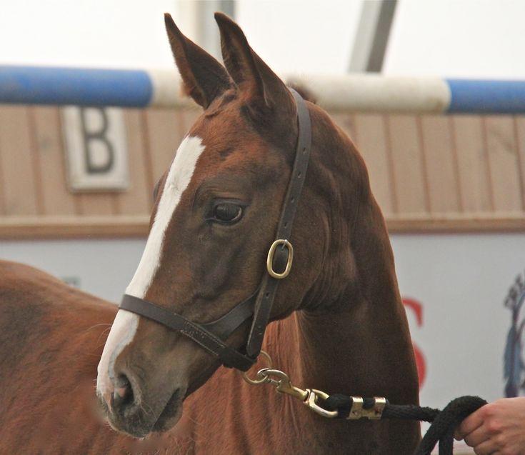 DREAMMASTER'S SOHN DMV - 2015 - Dam Hanoverian approved Jockey Club registered Thoroughbred   #hanoverians #equestrianstyle #dressage #horses #equestrian