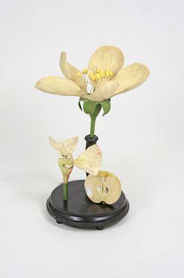 apple flower botanical model