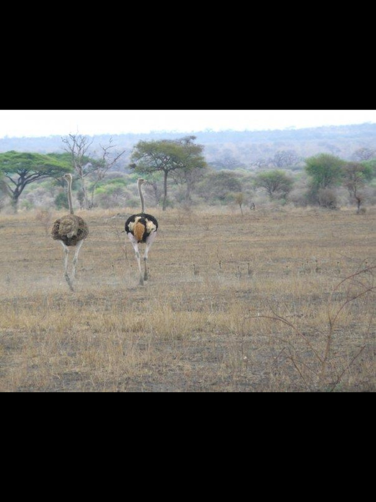 Erg bijzonder! Struisvogel stel met veel jongen!