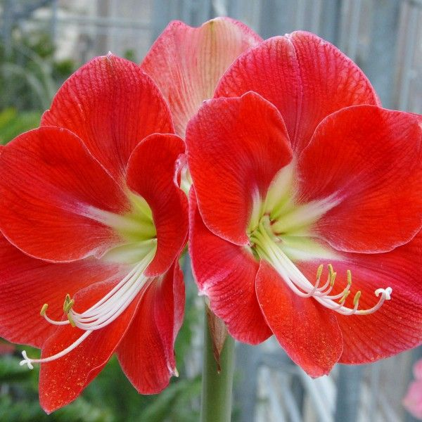 203 best amaryllis hippeastrum images on pinterest farben pflanzen und iris. Black Bedroom Furniture Sets. Home Design Ideas