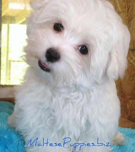 Maltese-I fell in love with one of these babies today