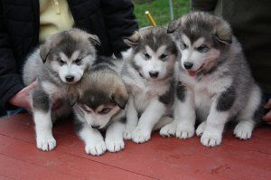 Purebred Miniature Siberian Huskies ? - Cape Town - free classifieds in South Africa