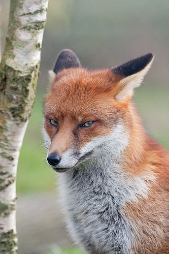 Red Fox by asbimages.co.uk...This guy looks like he's up to no good.: