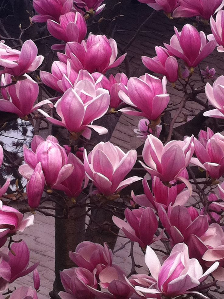 Magnolien in voller Blüte