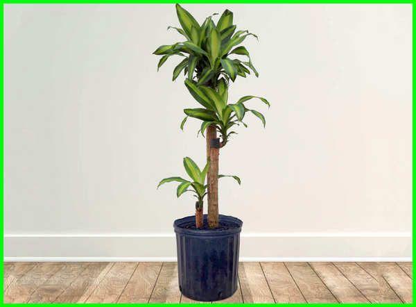 22 Tanaman Hias Yang Hidup Tanpa Sinar Matahari Dunia Fauna Hewan Binatang Tumbuhan Corn Plant Dracaena Corn Plant Plants