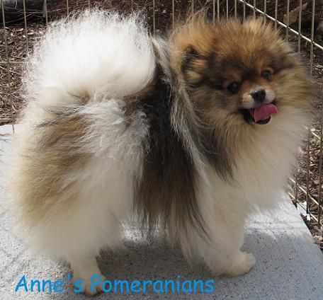 Anne's Pomeranians   Specializing in parti and exotic colors