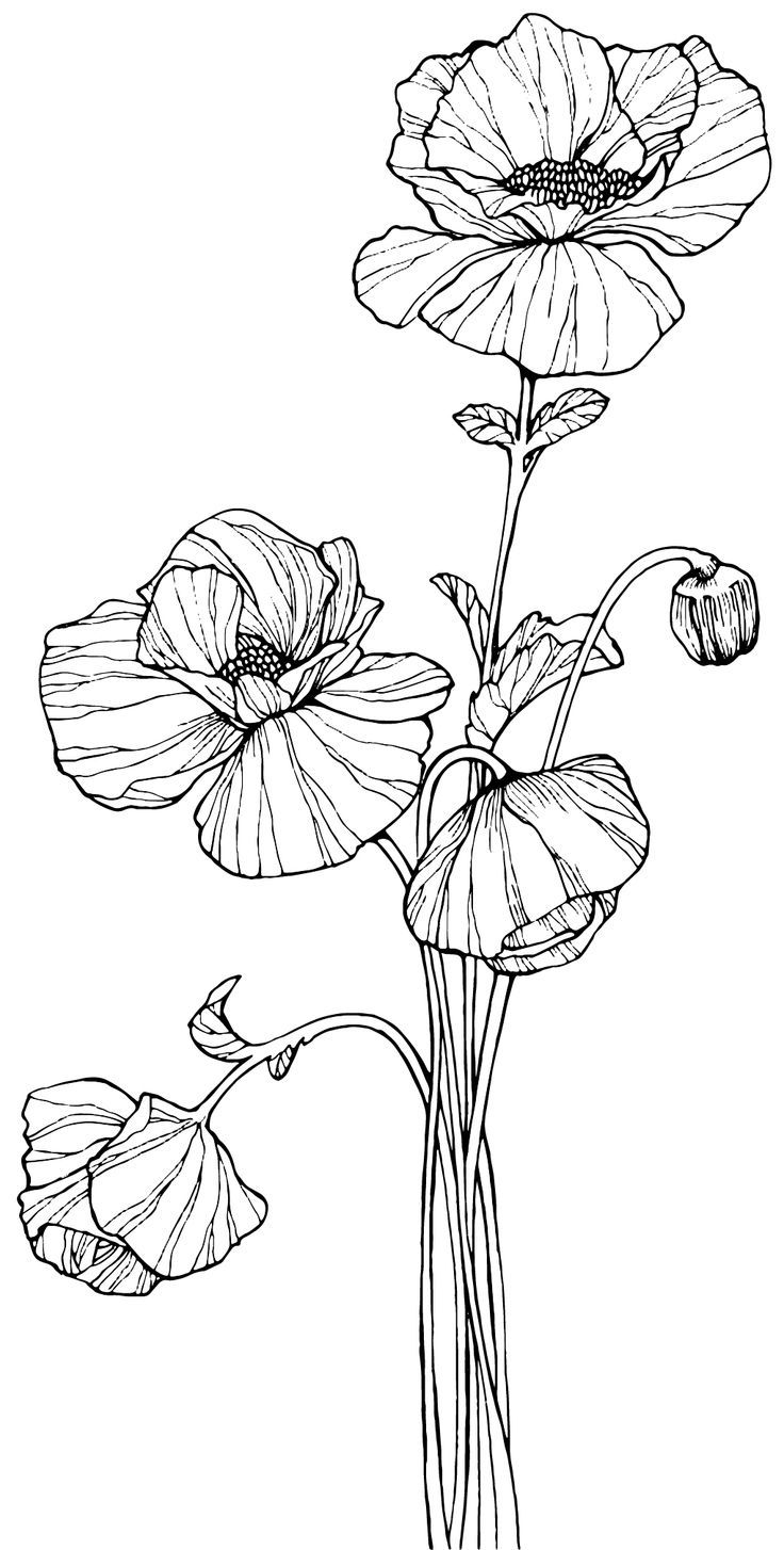 Red Flower Line Drawing : Opium poppy flower drawing pixshark images
