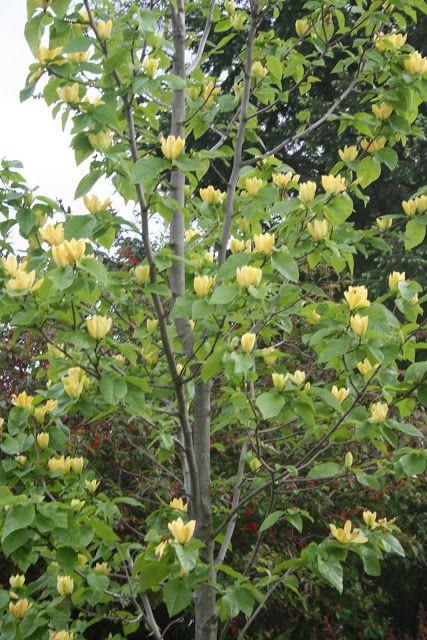 23 best arbres jardin images on pinterest trees magnolia and magnolia trees. Black Bedroom Furniture Sets. Home Design Ideas