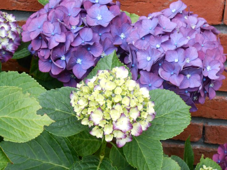 paarse hortensia