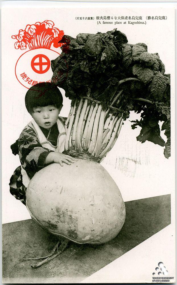 Great daikon of Kagoshima / 鹿児島名産偉大なる桜島大根(重量六十五斤)