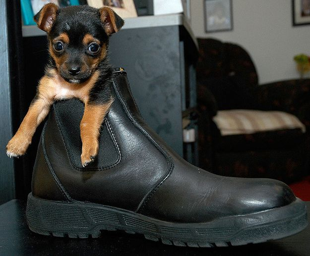 It's a dog. In a shoe. Need we say more?: Puppies, Dogs 3, Funny Dogs, Adorable Animals, Puppys, Pictures Of Dogs, Baby Animals, Boots, Cute Dogs
