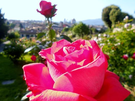 Florence Rose garden in bloom - great thing to do when visiting Florence - Great photo! We love your site Girl in Florence!  shared by Simon at www.patrignone.com