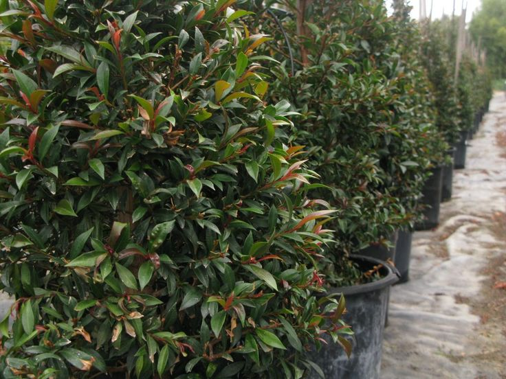 17 best images about shrubs on pinterest sun for Pianta eugenia