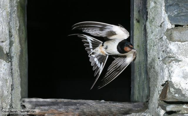 Got to be my favourite bird. Click for lots of info about swallows.