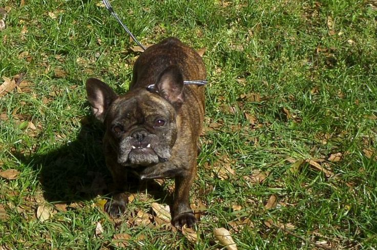 Adopt Bisquit on French bulldog, Animals for kids
