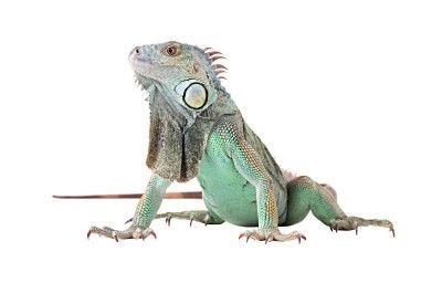 Green iguana...... hmmm one day
