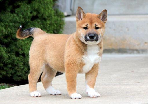 Shiba Inu puppy for sale in MOUNT JOY, PA. ADN-51061 on PuppyFinder.com Gender: Male. Age: 6 Weeks Old
