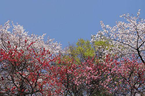 隅田公園のハナモモと桜
