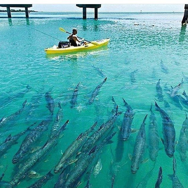 1000 images about tarpon on pinterest for Florida fishing vacations