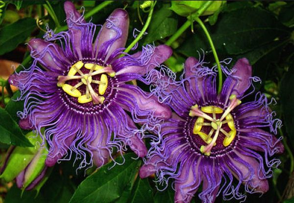 Health Benefits Of Passionflower Passion Flower Passion Flower Benefits Passion Flower Plant
