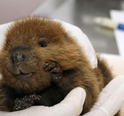Baby Beaver...he looks like he's smiling.