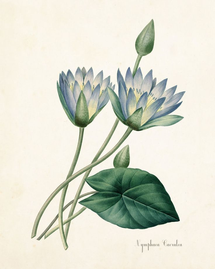 Blue Lotus Nymphaea Caerulea Botanical Art Print