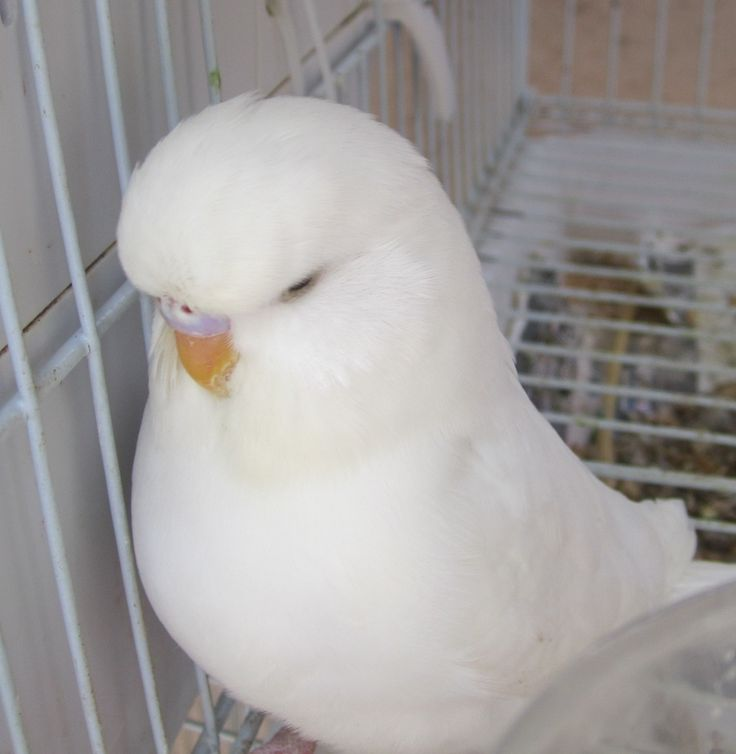 White Baby Parakeet Best 25+ Budgies ideas...