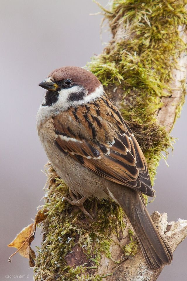 294 best sparrows images on pinterest beautiful birds. Black Bedroom Furniture Sets. Home Design Ideas