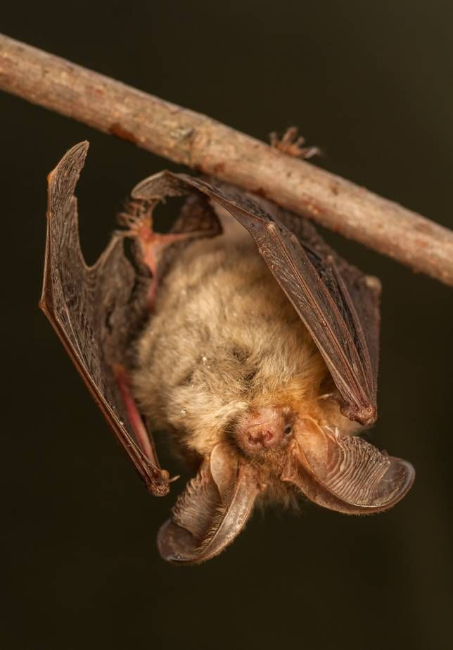 Despite its sizable ears, the brown long-eared bat still relies on its sense of sight to spot prey (and avoid predators).