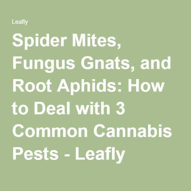 Spider Mites, Fungus Gnats, and Root Aphids: How to Deal with 3 Common Cannabis Pests - Leafly