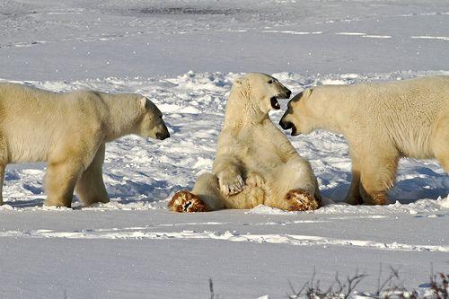 Polar Bear Tours in Churchill, Manitoba