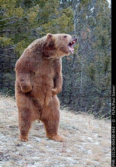 roaring bear standing - Google Search