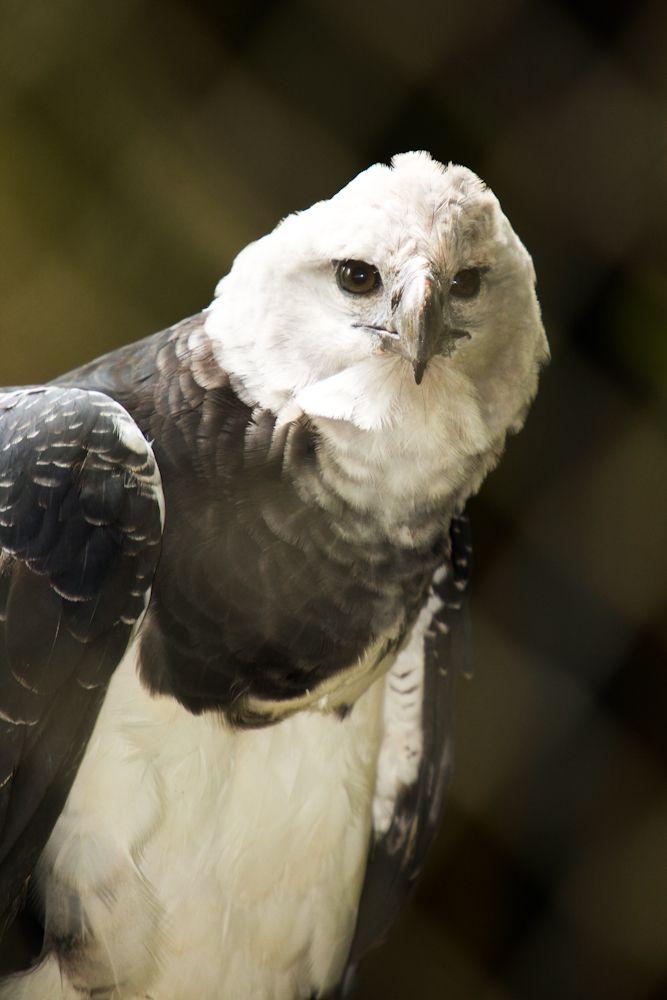 La arpía mayor, águila harpía o simplemente harpía (Harpia harpyja) es una especie de ave accipitriforme de la familia Accipitridae que vive en la zona neotropical. Es el águila más grande del Hemisferio Occidental y del Hemisferio Austral, y la única especie del género Harpia. Su hábitat es el bosque lluvioso. No se reconocen subespecies.  El águila harpía es el ave nacional de Panamá y la especie símbolo de la diversidad biológica de Ecuador.
